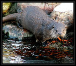 Title: The hunting otter 2.Konica Minolta Dimage Z3