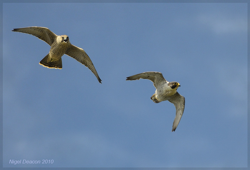 Peregrine Falcon - Father and Daughter