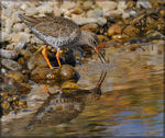 Title: Redshank - Ripples and Reflections