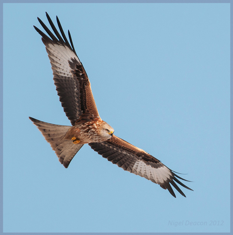 Red Kite - the Recovery