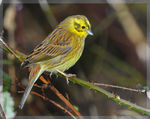 Title: Yellowhammer in the Rain