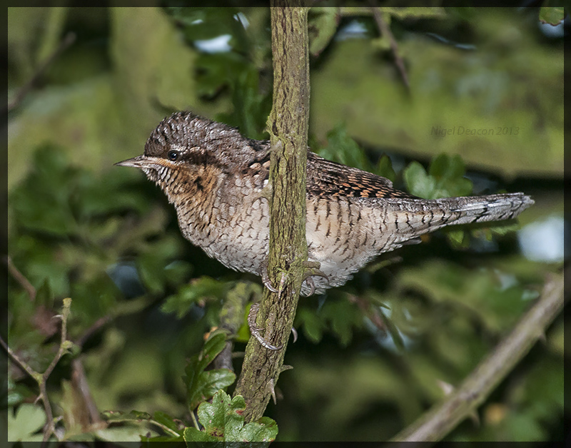 Wryneck - Little Brown Woodpecker