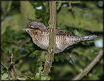 Title: Wryneck - Little Brown Woodpecker