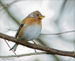 Title: Female Brambling