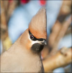 Title: Waxwing - Close Encounter