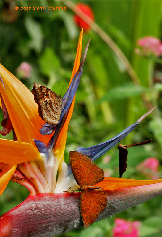 Common Castor on a Bird of Paradise II