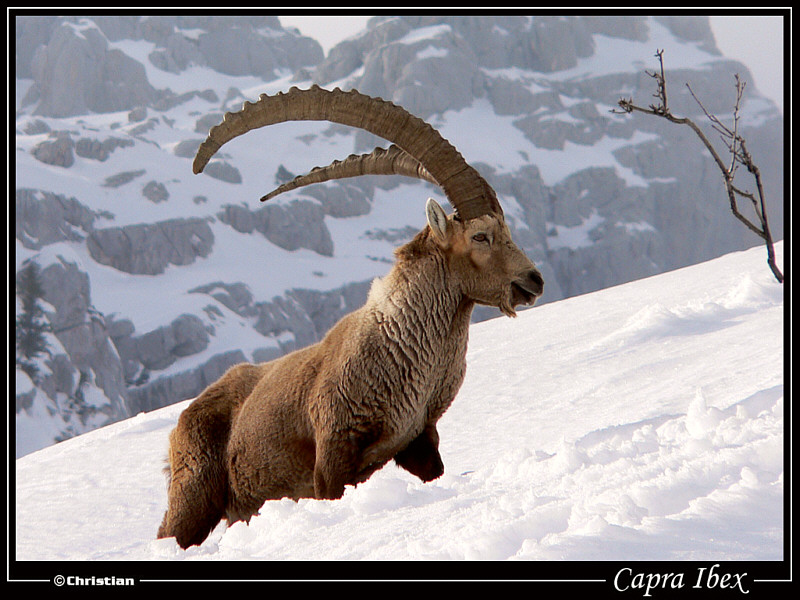 Capra Ibex at Jalouvre