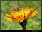 Title: Golden Crepis with Bug