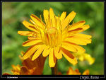 Title: Alps Golden Crepis