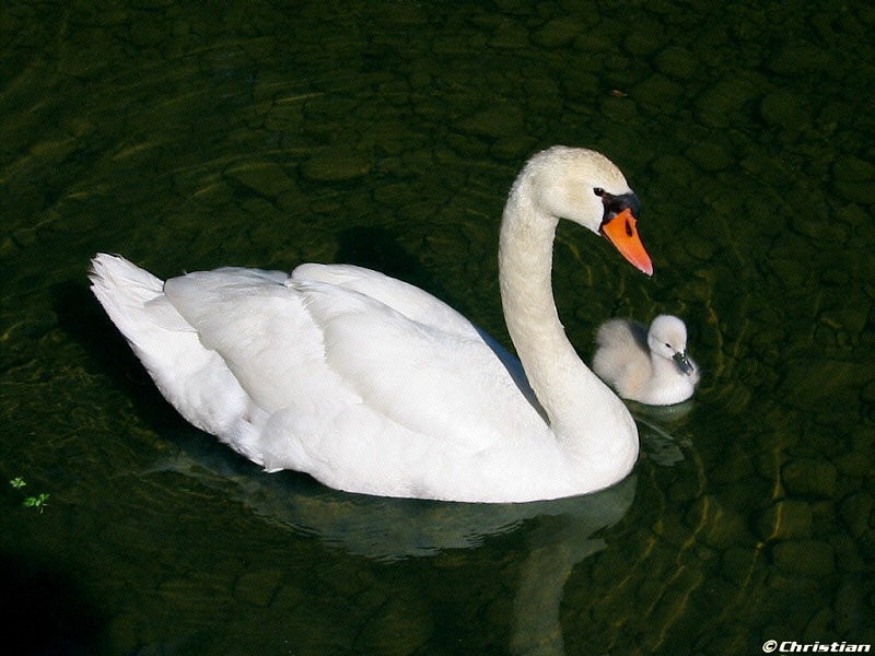 Mother & baby swan