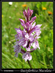 Title: Heath Spotted Orchid