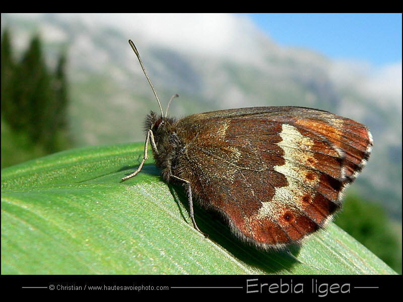 Large Ringlet in Alps