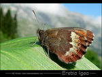 Title: Large Ringlet in Alps