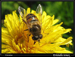 Title: Eristalis on Dandelion