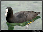 Title: Coot on Annecy lake