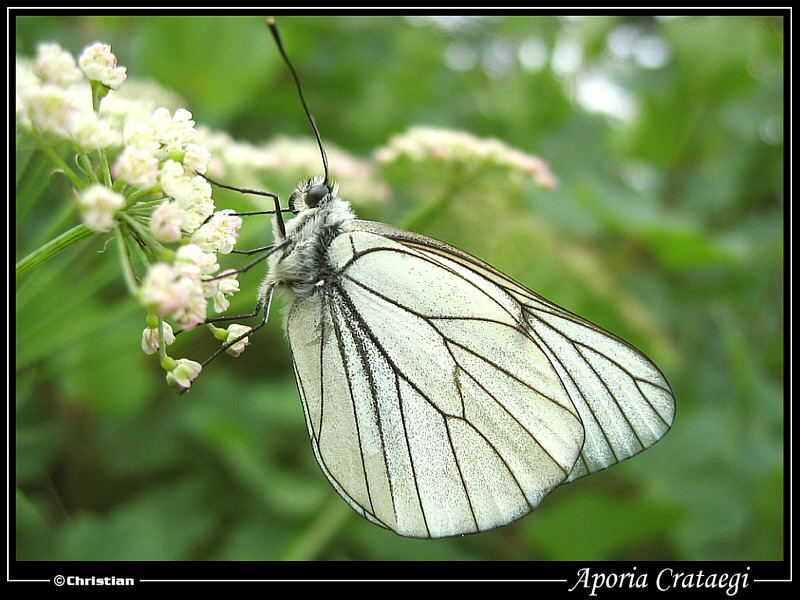 Black-veined White