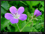 Title: Geranium pratense in Alps