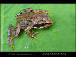 Title: Young French Frog
