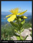 Title: Hypericium perforatum in Alps