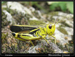 Title: Grasshopper in Alps