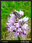 Title: Monkey Orchis + Cantharis