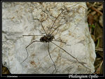 Title: Harvestman is not spider