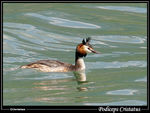 Title: Podiceps cristatus on Annecy lake