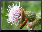 Title: Soldier beetles in love at 1500m