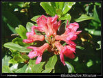 Title: Alps Rhododendron Hirsutum