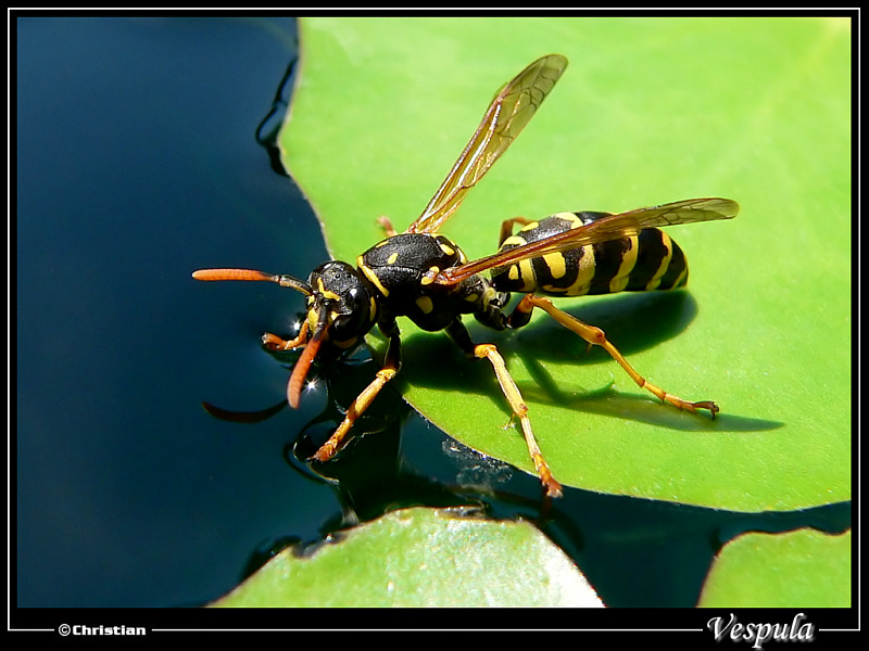 Wasp drinking & walking on water