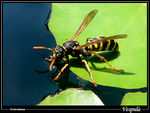 Title: Wasp drinking & walking on water
