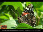 Title: Red admiral in Alps