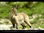 Title: Baby ibex at 2000m