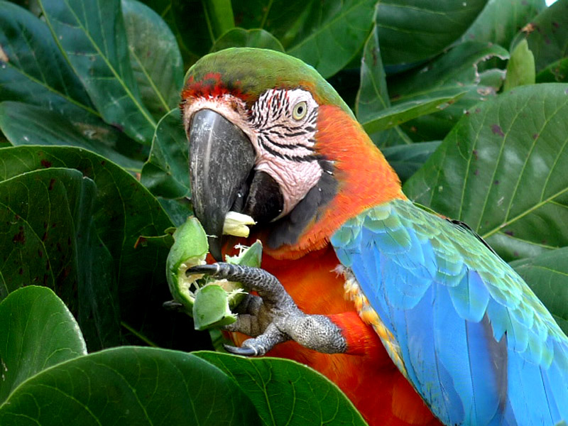 macaw and nut