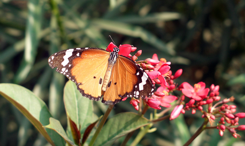 Butterfly in India