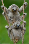 Title: Three-toed Sloths