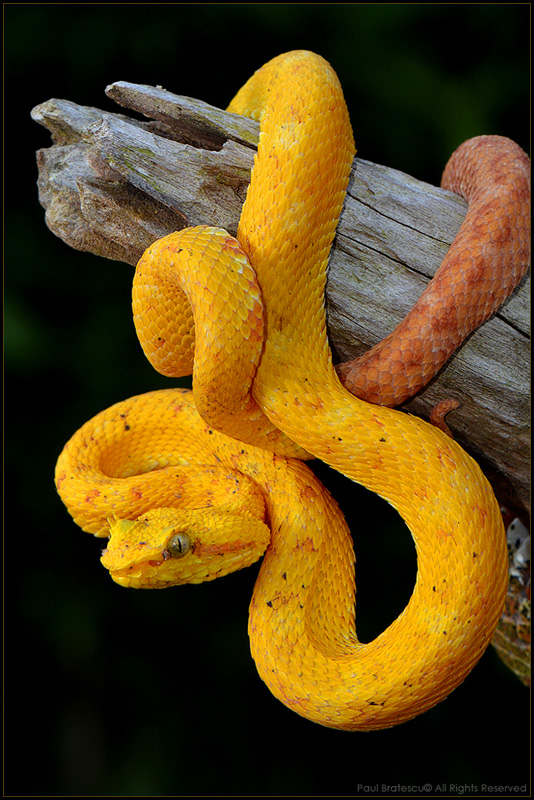 Treknature Eyelash Viper Bothriechis Schlegelii Photo