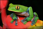 Title: Yellow-eyed Tree Frog