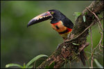 Title: Beautiful Collared Aracari