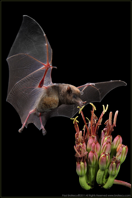 Long-nosed Mexican Bat