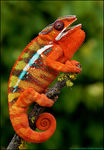 Title: Panther Chameleon