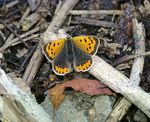 Title: Small Copper Butterfly