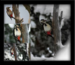 Title: Woodpeckers in Snow