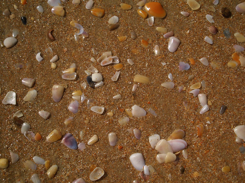 Shells upon the each in Goa