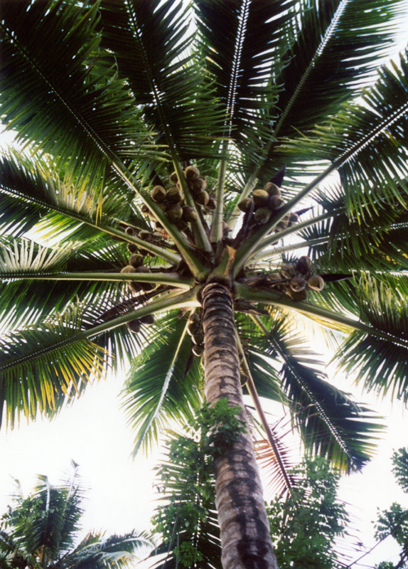 Lovely bunches of coconuts