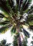 Title: Lovely bunches of coconuts