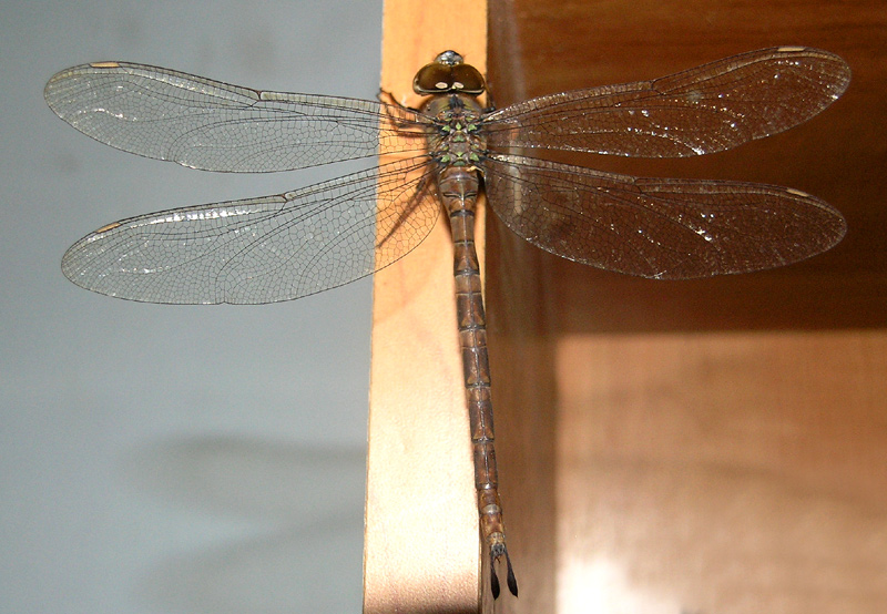 Dragonfly at the internet