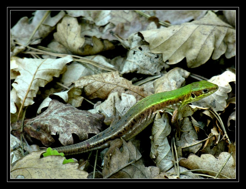 Lizard and the leafs