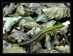 Title: Lizard and the leafsNikon CP 8800