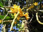 Title: Dendrobium from Tinchulay